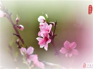 t滑石后的桃花