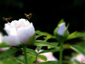 两个小蜜蜂呀,飞在花丛中呀!