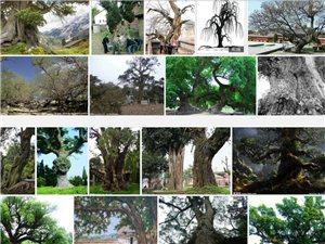 请问:山阳哪里还有超过100年树龄的古树?