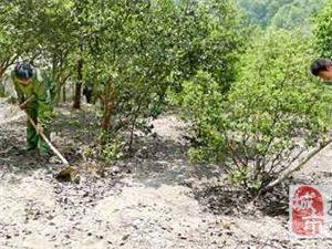 乐安金竹畲族乡改造低产油茶林9700多亩