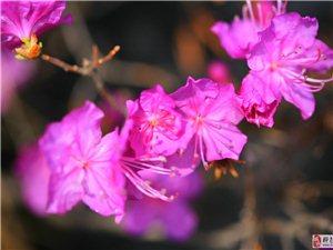 杜鹃花——14、4、22日拍于明义东山