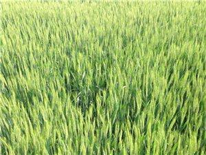 家里的麦子还差不多,希望是个丰收年