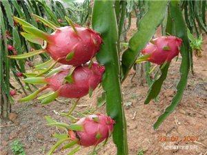 浅谈水果的药理功能——火龙果