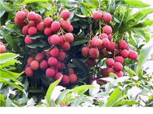 浅谈水果的药理功能——荔枝