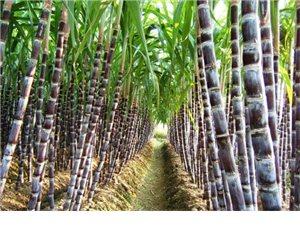 浅谈水果的药理功能——甘蔗