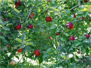 浅谈水果的药理功能——苹果