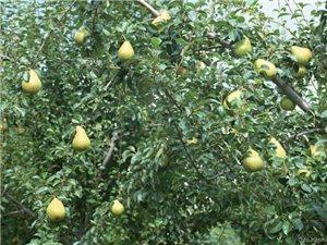 浅谈水果的药理功能——梨