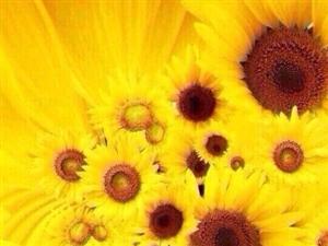 向日葵告诉我,只要面对着阳光努力向上,日子就会变得单纯而美好。——几米