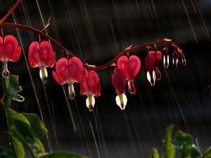 雨中的荷包牡丹