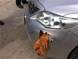 一只鸡把车给撞坏了(看图)