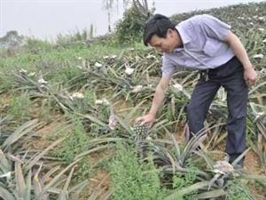 潮州:水美菠萝开始收摘上市