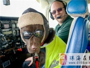 宠物犬坐副驾飞满250小时获机务人员证件