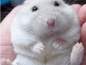 如何挑�x一只性格好又健康的�}鼠   (�}鼠地�В�