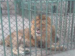 """被判了""""无期徒刑""""的人民公园里的一对猛狮"""