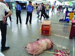 宠物狗坐飞机吐血死亡 找不到权威机构做尸检