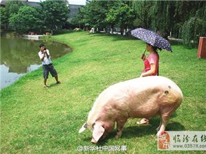 """汶川震后""""猪坚强""""的幸福生活:吃饭、睡觉、散步"""