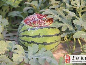 漫河瓜农:网上发布一条销售热线,一天卖出西瓜过万