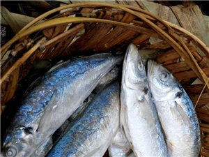 还有十多天就开海了。就有新鲜鱼饭到了