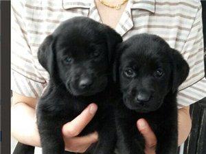 秀山狗仔队出售纯黑色的拉布拉多幼犬