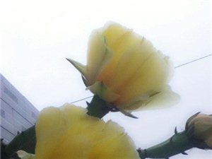 我家仙人掌终于开花了