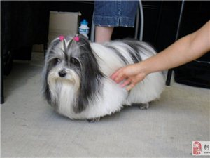 狗狗的夏天创意发型