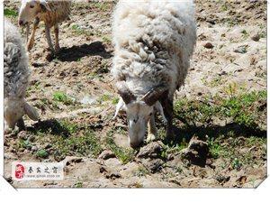 秦安葫�J河畔�S拍羊、羊群、�I�^羊-