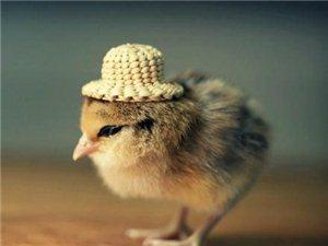 萌鸡帽子秀。