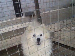 代�l信息:�信本地�_摩耶幼犬出售
