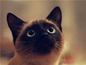暹罗猫――专注挖煤30年。哈哈哈