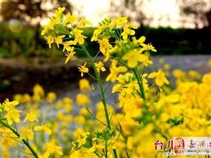 邳庄油菜花