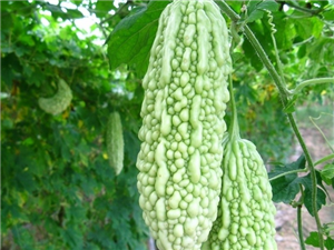 苦瓜夏季不可缺少的蔬菜