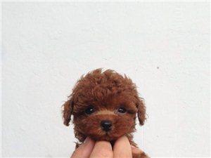 有自家养泰迪狗狗出售 , 喜欢的朋友请进。