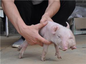 【二郎神跟二师兄干啥了】洛南一母猪产下两头三眼幼崽 两嘴可同时喝奶