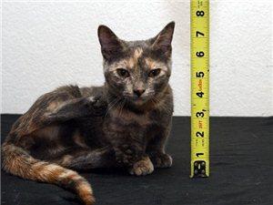 美宠物猫身高不足13厘米或成世界最矮