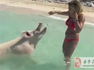 游泳猪蹿红网络 竟然还学会了水中冲浪 十分搞笑