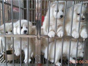 出售精品萨摩幼犬。。