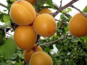 舌尖上的新密―密香杏