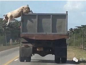 小猪在去屠宰场的路上,跳车大逃亡!!