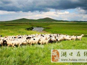 湖口店――小肥羊:好羊来自好牧场
