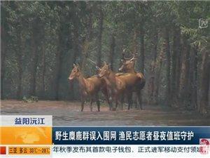 野生麋鹿群误入漉湖围网 渔民志愿者昼夜值班守护