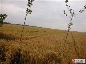 2014的夏天――金色的麦浪