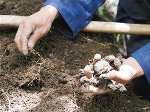山阳县猪苓种植基地出售大量猪苓种子