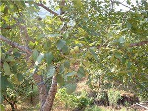 卖100亩药材:柴胡,核桃种植基地,50年产权,后可续
