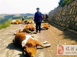 山西沁源:一声响雷后劈死25头牛(图)
