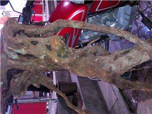 这个树根雕成什么好看(图)