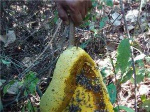 你吃过这样的野生蜂蜜吗?难得一见哦