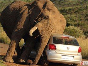 """错误的时间来到错误的地方:轿车被大象当成""""痒痒挠"""""""