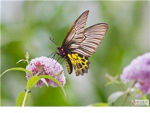 金 裳 �P 蝶