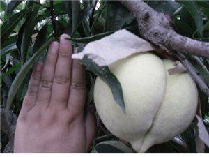 今年的蜜桃快成熟了哦,大家猜猜这个多重!