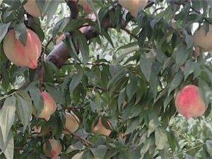 问:为什么蜜桃要扶着墙吃,答:因为怕甜倒了。刀切不流水,